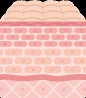 皮膚組織の断面図のイラスト